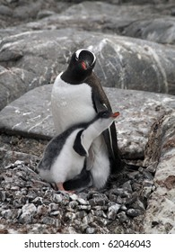 Penguin Baby and Mother