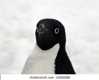 Penguin with black Head