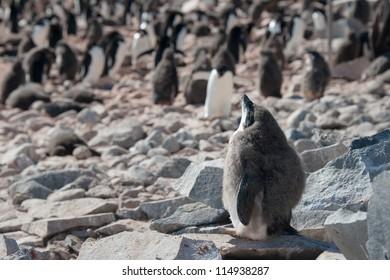 Penguin chick taking sunbath on the rocky beach