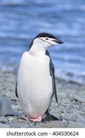 Penguin, Chinstrap