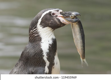 Penguin Eating Fish Vector Images (28)