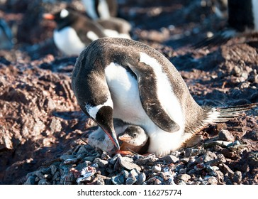 Penguin mother take care of her baby