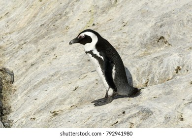 Penguin on a boulder