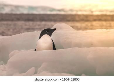Adélie penguin, on ice , Antartica
