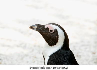 Penguin portrait on the left side, horizontal image