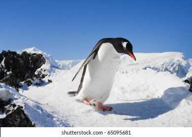 penguin running on the rocks covered with snow