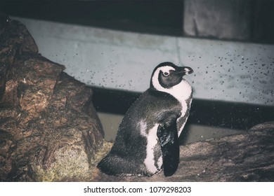 A penguin sitting on a rock at an aquarium looking off.