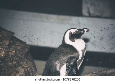 A penguin sitting on a rock at an aquarium. Looking off to the right.