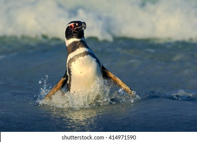 Penguin swiming in the waves. Magellanic penguin and ocean wave in the background, Falkland Islands, Antarctica.
