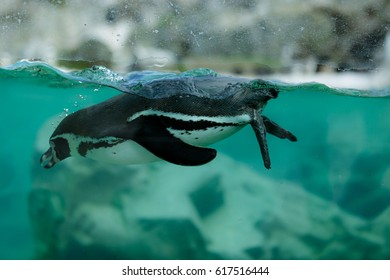 Penguin swimming in the water. Photograph taken in a zoo.