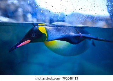 A penguin was swimming at  Zoo penguin water tank.