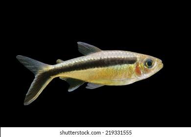 Blackline Penguinfish Images Stock Photos Vectors Shutterstock
