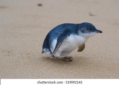 Penguin walking on a beach in Australia
