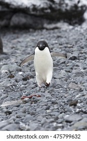 A penguin walking on the stone