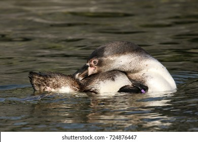 Penguin in the water grooming