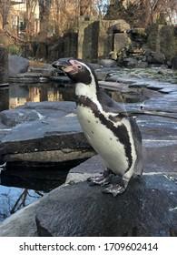 Penguin in the zoo.  stones water
