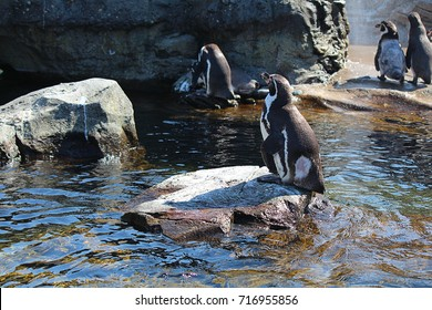 Penguins bathing.