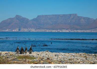 Penguins with Cape Town Cityscape