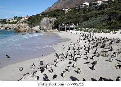 Penguins colony on Boulders Beach, Simon's Town near Cape Town, South Africa.