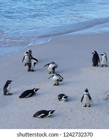 Penguins congregate on the sands of Boulders Beach near Capetown, South Africa