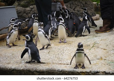 Penguins feeding at the San Francisco Zoo in California.