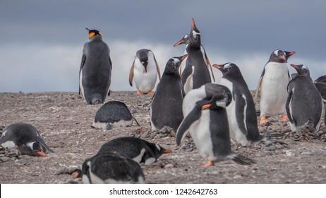 Penguins at Isla Martillo, Beagle Channel Ushuaia Patagonia Tierra del Fuego Argentina