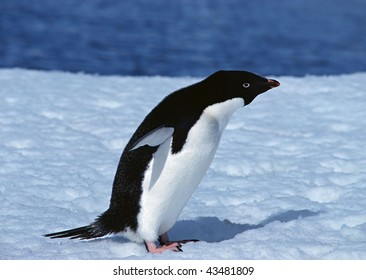Penguins live in places where a permafrost, it is a lot of snow and ice