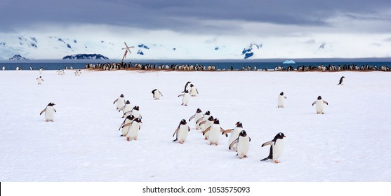 Penguins marching on half moon bay in Antarctica