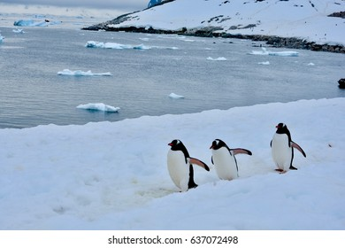 Penguins marching on ice near Cuverville Island, near the Errera Channel, in Antarctica