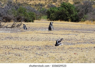 Penguins in the nature in Punta Tombo, Patagonia, Argentina