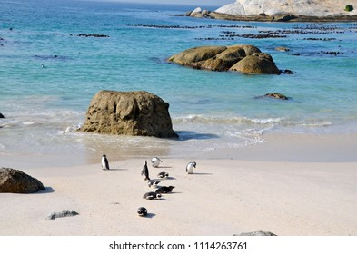 Penguins on Boulder Beach. The famous colony of African penguins is located near Simon's Town and Cape Town, South Africa.