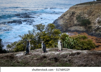 Penguins in the South Island