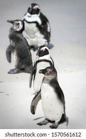 Penguins sunbathing at Boulders Beach in South Africa
