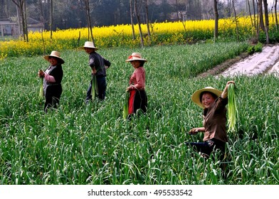 Pengzhou, China - March 17, 2010:  Farmers at work in a field harvesting Spring crops of green garlic