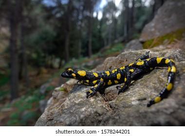 Penibetic Spanish fire salamander amphibian