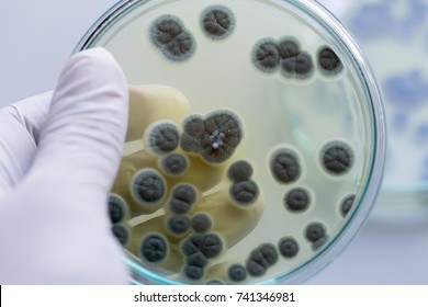 Penicillium, ascomycetous fungi are of major importance in the natural environment as well as food and drug production.