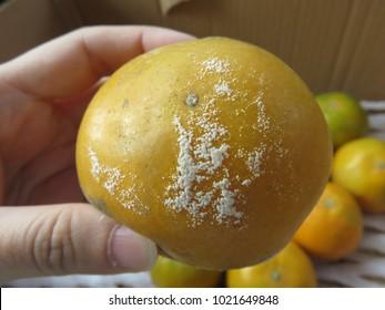 Penicillium (microbial spoilage) on the orange