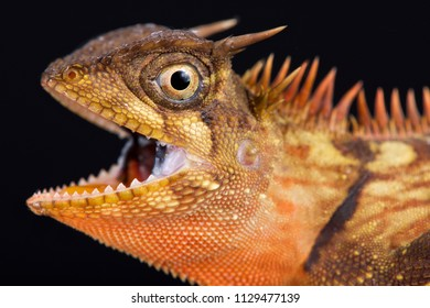 The Peninsular horned tree lizard (Acanthosaura armata) is a tree dragon species found across Southeast Asia.