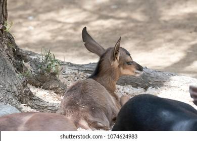 Peninsular Pronghorn fawn lying in the dirt