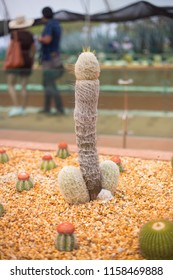 Penis shape cactus.