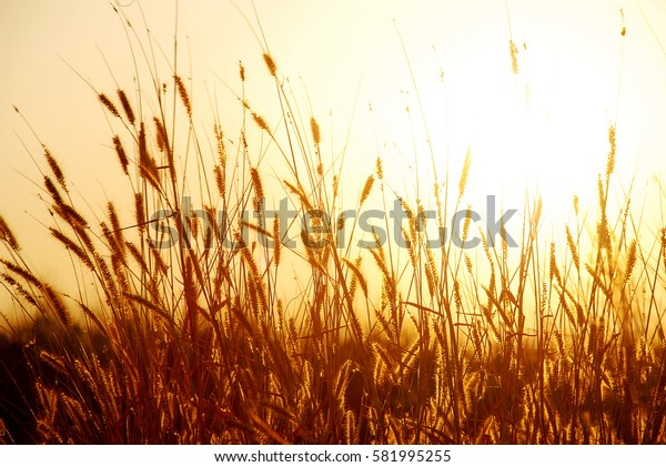 Pennisetum Polystachyon (L) Schult, The Feather Pennisetum, Mission grass at sunset or sunrise and golden light at dusk.
