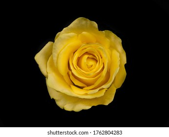 Penny Lane roses. yellow rose isolated on black background