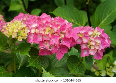 Penny mac (Hydrangea macrophylla), flowers of summer