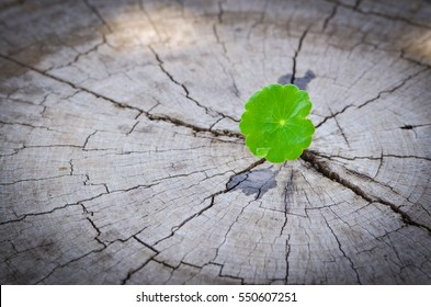 penny wort  born on old tree,  nature stock photo