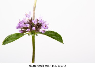 Pennyroyal on white background