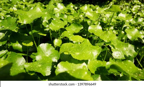 Pennywort growing well under the sunlight in tropical garden. Pennywort is common name including Navelwort, Dollarweed, Asiatic Pennywort. Scientific name is Centella Asiatica