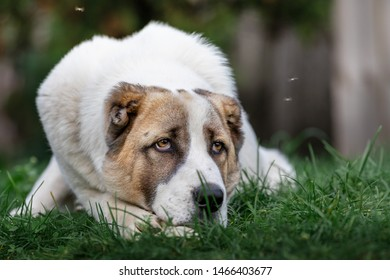 Pensive Asian Shepherd dog laying on the green grass and flies