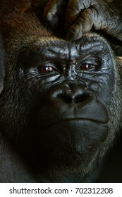 Pensive gorilla portrait with hand over brow