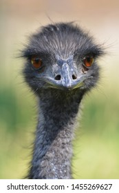 pensive and photogenic ostrich in Vietnam.