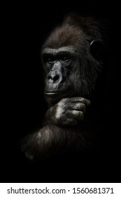 Pensive pose, hand props his head. Monkey anthropoid gorilla female. a symbol of brooding rationality and heavy thoughts. isolated black background.
